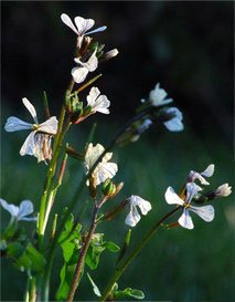 Charlotte Kopcke, Flowering Arugula