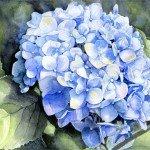 Dari Paquette, Hydrangea Macrophylla, watercolor